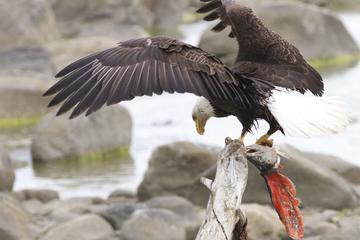 Chilkoot Wilderness and Wildlife Viewing - Haines Departure