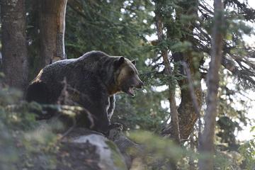 Descubra os ursos pardos de Banff