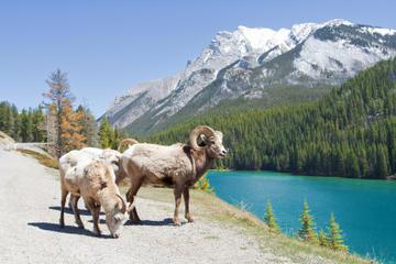 Visite d'été: Banff et ses animaux sauvages