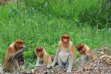 Klias Proboscis Monkey and Firefly...