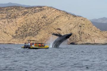Whale Watching Cruise in Cabo San Lucas