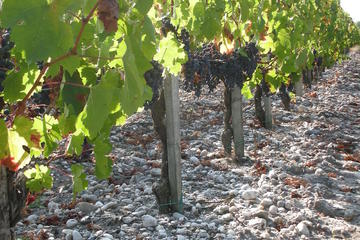 Visite des vignes de Château Paloumey...