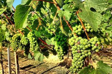 Khao Yai Winery - Vineyard Tours...