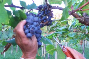 Private grape harvest experience in Puglia: a joyous day celebration of great wine and fantastic food in Southern Italy