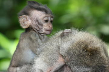 Halfday Tour Visit Monkey Forest - Taman Ayun Temple and Tanah Lot Sunset