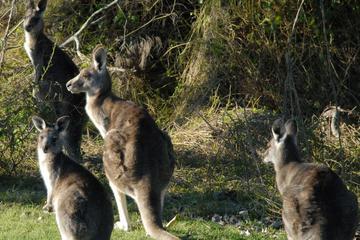 Walking with Wild Kangaroos Private...