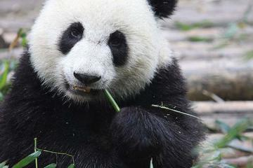 Chengdu Panda Research Base Half Day Private Tour