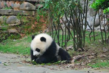 Panda Volunteer at Dujiangyan Panda Base