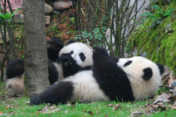 Volunteer at Dujiangyan Panda Base With Panda Feeding Including...