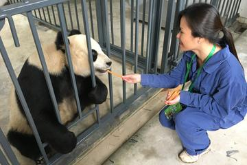 Volunteer at Dujiangyan Panda Base with Panda Feeding Including Buffet Lunch