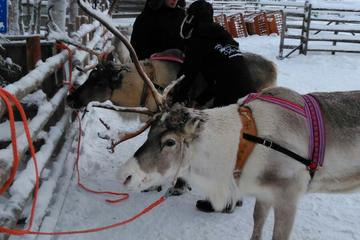 Northern Lights Reindeer Safari from Rovaniemi