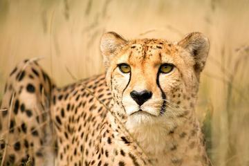 Cheetah, wine, marine and perspective ...
