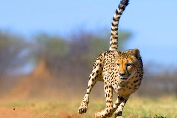 Full-Day Cheetah Outreach Tour from ...