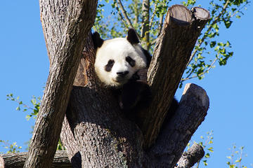 Chengdu Private Tour Of Giant Panda Breeding Research Base and City Highlights With Lunch