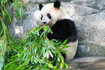 Private Day Tour of Chongqing City Highlight With Pandas of Chongqing...