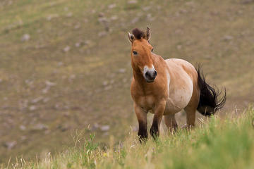KHUSTAI NATIONAL PARK ONE DAY PRIVATE TOUR (Przewalski's horse)