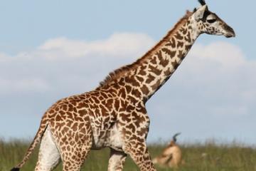 Giraffe Centre and David Sheldrick Elephant Orphanage Tour from Nairobi