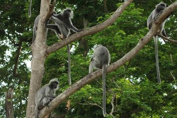 Combo of Silver Leaf Monkeys and Firefly Tour with Boat Ride and Seafood Dinner in Kuala Selangor
