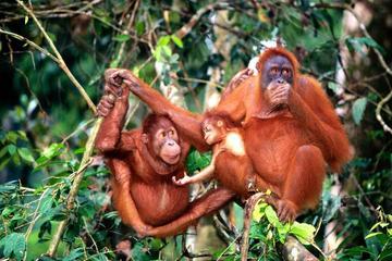 Bukit Merah Orang Utan Island and...
