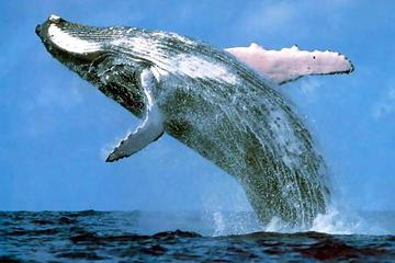 Platinum Whale Sightseeing and Cayo Levantado Island Tour