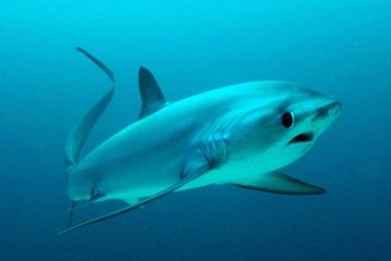 3 Scuba Dives with Thresher Sharks...