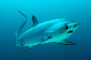 Thresher Shark Dive from Malapascua...
