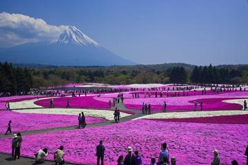 Pink Moss Phlox Festival and Mount...