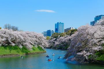 Visit Popular Cherry Blossom Viewing Spots - Buffet Lunch Included
