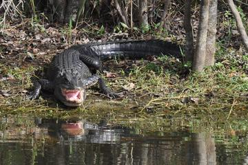 Book Everglades Adventure Day with Swamp Buggy and Airboat Rides on Viator