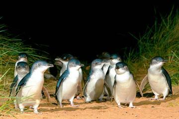 1 dag pingvin destinasjon - Melbourne...
