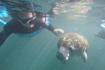 Swim With West Indian Manatees