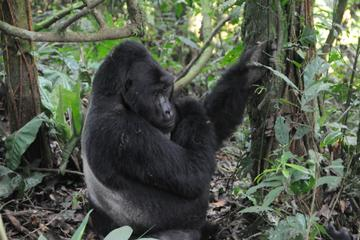 8 DAYS GORILLA TREKKING AND MAASAI...