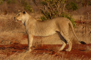 TSAVO EAST AND WEST NATIONAL PARKS DAY TRIP FROM MOMBASA