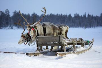 Sami Culture Tour Including Reindeer...