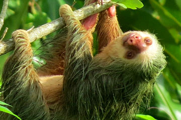 Small-Group Guided Sloth Seeing Tour in La Fortuna