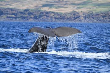 Whale Watching Tour in the Azores