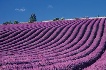 Provence and Lavander - Shared and Guided Full Day Tour