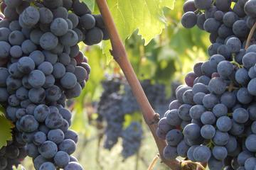 Chianti Rufina DOCG Wine Tour in Tuscany
