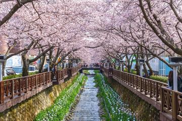 Full-Day Jinhae Cherry Blossom Festival Tour