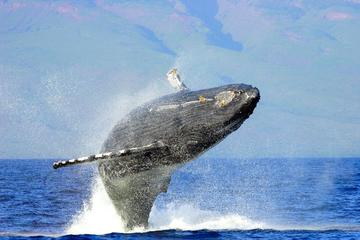 Humpback Whale Watching & Dolphin Search - Sanity Private 2 Hour...