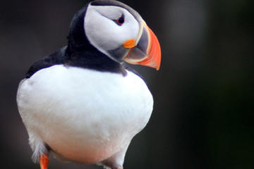 Puffin and Bird Watching Tour from Reykjavik