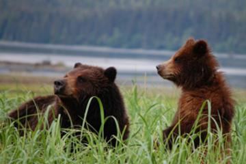 Exklusives Pack Creek Bear Viewing ab...