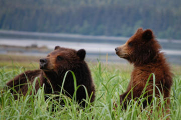 Pack Creek Bear Viewing exclusivo desde Juneau