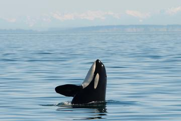 Book San Juan Island Whale and Wildlife Tours on Viator