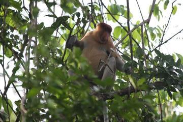Shore Excursion: Brunei Proboscis...