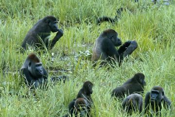 Odzala-Kokoua Park Discovery Camps- CCC Lango- Ngaga - Mboko Luxury Safari Camps