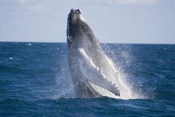 Croisière d'une demi-journée d'observation des baleines et croisière...