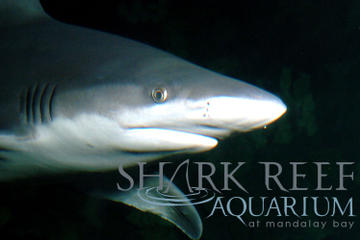 Acquario Shark Reef al Mandalay Bay Hotel and Casino