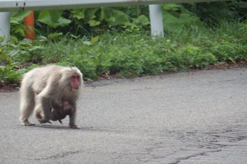 Adventure in search of Japanese monkeys living farthest north in the world!