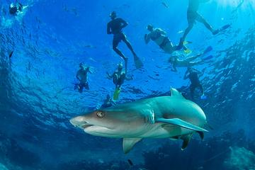Ultimate Snorkel with Sharks...